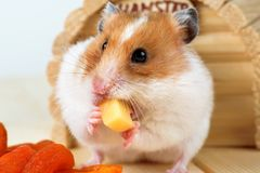 A hamster close-up eats cheese near its house. A hamster close-up eats cheese near its wooden house Royalty Free Stock Image