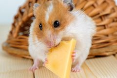 A hamster close-up eats cheese near its house. A hamster close-up eats cheese near its wooden house Stock Photography