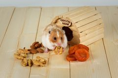 A hamster close-up eats a walnut from his house. A hamster close-up eats a walnut from his wooden house Royalty Free Stock Images