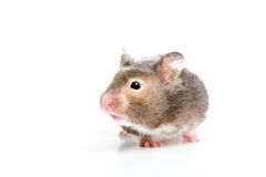 Hamster close up isolated Royalty Free Stock Images