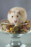 Hamster among colored Food for rodents on a gray background Stock Images