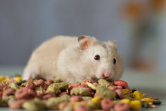 Hamster among colored Food for rodents on a gray background. Gray hamster among colored Food for rodents on a gray background stock photos