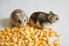 Hamster com milho foto de stock