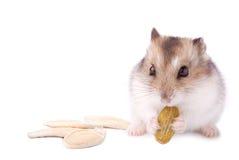 Hamster com semente de abóbora Fotografia de Stock Royalty Free