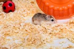 Hamster com uma casa morna Imagem de Stock Royalty Free