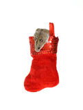 Hamster Coming out of a Hanging Christmas Stocking. Hamster Coming out of a Red Christmas Stocking that looks like it is hanging up, isolated on white Royalty Free Stock Photography