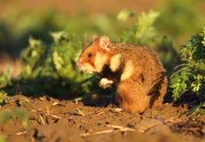 Hamster comum selvagem fotos de stock royalty free