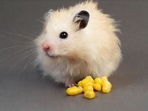 Hamster with corn Royalty Free Stock Photography