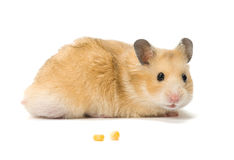 Hamster and corn seeds. Male hamster and corn seeds on white background stock photo