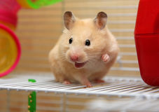 Hamster crème Photos stock