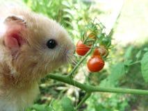 Hamster crème regardant des tomates-cerises dans le jardin image stock