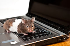 Hamster crawling on top of a laptop Royalty Free Stock Photo