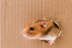 Hamster, crawls into the torn hole on the cardboard. Animal stock photos
