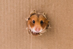 Hamster, crawls into the torn hole on the cardboard. Animal royalty free stock image