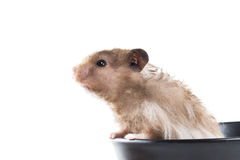 Hamster (Cricetus) in a bowl Royalty Free Stock Images