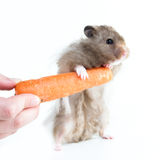 Hamster (Cricetus) with carrot Stock Images