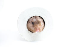 Hamster (Cricetus) dans un rouleau de papier hygiénique Photographie stock libre de droits