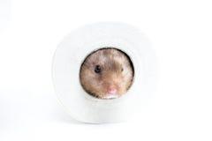 Hamster (Cricetus) i en toalettrulle Royaltyfri Fotografi