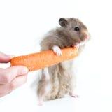 Hamster (Cricetus) mit Karotte Stockbilder