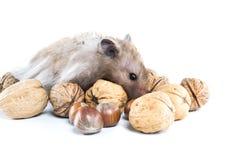 Hamster (Cricetus) mit Mischnüssen Lizenzfreie Stockfotos