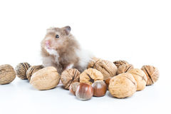 Hamster (Cricetus) with mixed nuts Royalty Free Stock Photos