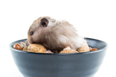 Hamster (Cricetus) with mixed nuts Stock Photos