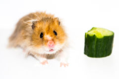 Hamster (Cricetus) with cucumber Stock Photography