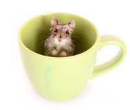 Hamster in cup Royalty Free Stock Image