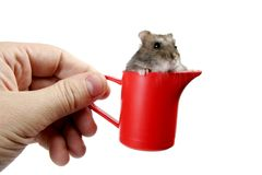 Hamster in cup. Human hand hold red plastic cup with grey hamster Royalty Free Stock Image