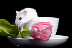 Hamster with cup and tulip Stock Images
