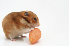 Hamster curieux Images stock