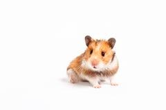 Hamster curieux Photographie stock libre de droits