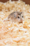 Hamster cute in a cool, fun game Stock Image