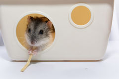Hamster cute eat candy Royalty Free Stock Photography
