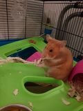 Hamster cutie stock photos