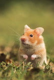 Hamster d'or Photographie stock