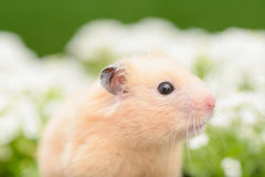 Hamster d'or Images stock
