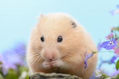 Hamster d'or Photo libre de droits