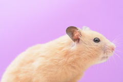 Hamster d'or Photo stock