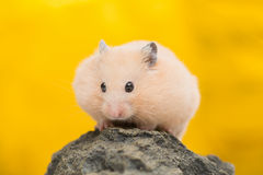Hamster d'or Photos stock