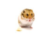 Hamster d'or d'isolement sur le blanc Image stock