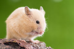 Hamster d'or de toilettage Image stock