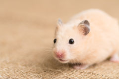 Hamster d'or (hamster syrien) Photographie stock