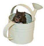 Hamster d'ours de Brown et bidon d'arrosage Image stock