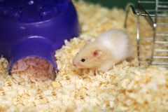 Hamster d'ours de nounours Image libre de droits