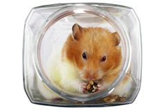 Hamster dans un choc Photo stock