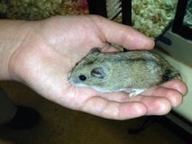 Hamster dans une main images stock