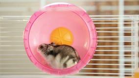 Hamster dans une roue banque de vidéos
