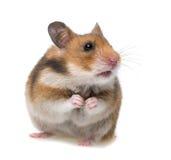 Hamster de assento fotografia de stock royalty free