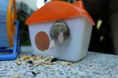 Hamster de blanc d'hiver Photographie stock